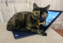 Кошка и лэптоп